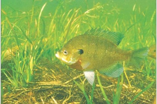 Bluegills monitor treated groundwater