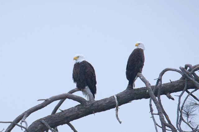 RAYMOND, Calif. - A pair of bald eagles rests at the U.S. Army Corps of Engineers Sacramento District's Eastman Lake Jan. 8. A volunteer photographed the birds during the National Midwinter Bald Eagle Survey, an annual, nationwide effort coordinated by the Corps to monitor and document bald eagle populations in the contiguous United States. Corps parks throughout California are participating in the study, which ended Jan. 12.