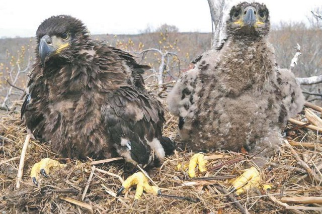 APG, partners rescue eagle chick