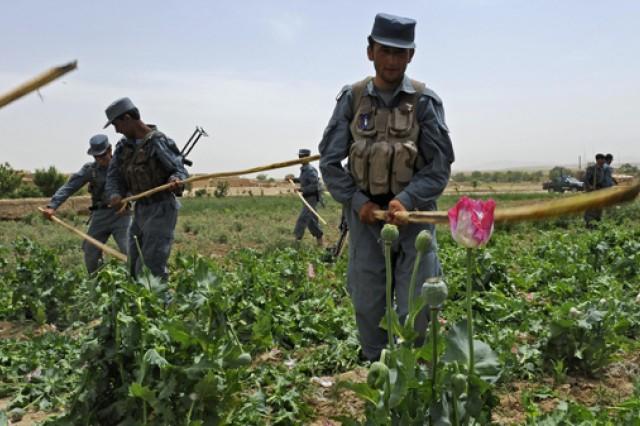 Afghan police use sticks to eradicate a poppy field near the city of Qalat, Zabul province, Afghanistan, May 4, 2011.