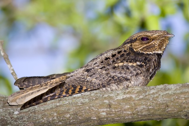The Directorate of Public Works Wildlife Branch conducted a survey of nightjar birds Friday. The data collected in the survey helps determine population distribution and trends of nightjars in the United States.