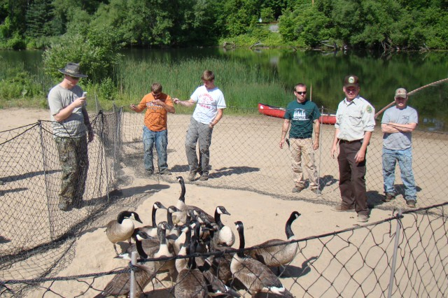 Canada geese captured on Fort Drum's Remington Park beach wait to be banded and relocated to Training Area 17. (Courtesy photo)