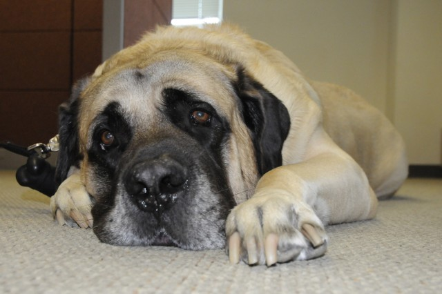 Arnold, a 200-pound English Mastiff, works as a therapy dog with Fort Drum's Army Substance Abuse Program.