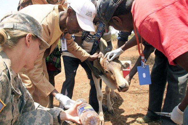 Dr. Dejene Taye (right) and Animal Health Assistant Behailu Fekede (center) clean an infected head wound on a calf while U.S. Army Capt. Jill Lynn, 490th Civil Affairs Functional Specialty Team veterinarian, assists during an eight -day Veterinary Civic Action Program in Negele, Ethiopia Aug. 24, 2011.