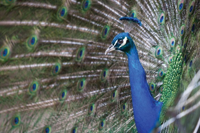 """""""Proud Peacock,"""" by Air Force Col. Joseph Mancy, won third place in the Active Duty Animal category. Mancy also took second in the same category."""