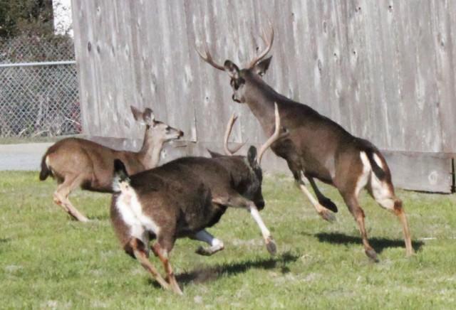 Deer can be dangerous neighbors