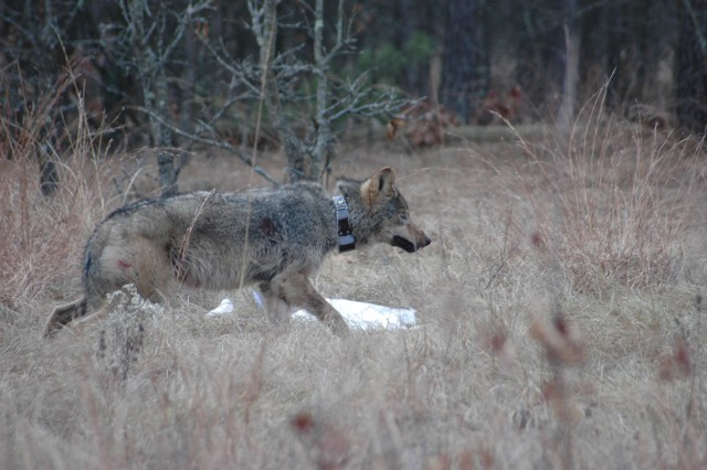 A wolf fitted with a telemetry collar is released on South Post at Fort McCoy, Wis. Installation Natural Resource Branch personnel will use the collar to track the wolf's movements.