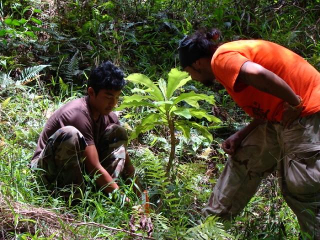 Endangered Cyanea superba in Kahanahaiki, HI