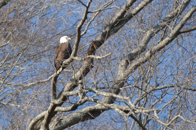 This is an American Bald Eagle perched on a limb on the shore of Dale Hollow Lake, Jan. 28, 2012, during an eagle watch tour.