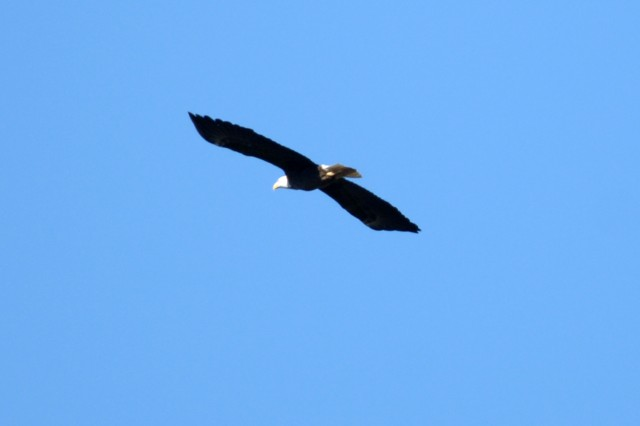 This is an American Bald Eagle flying high over Dale Hollow Lake, Jan. 28, 2012, during an eagle watch tour