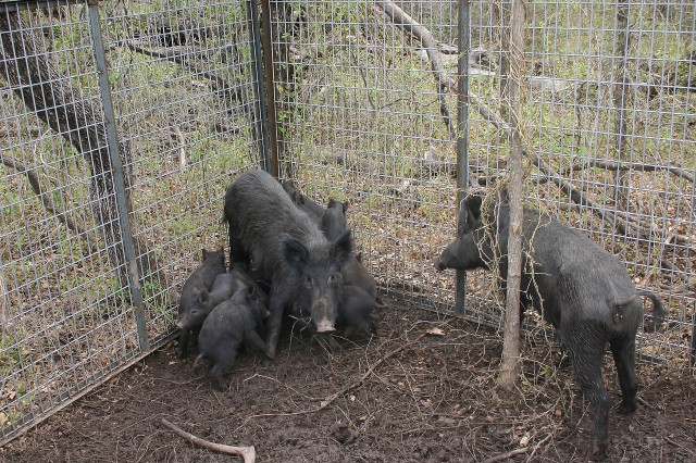 FORT SILL, Okla. -- Fort Sill natural resources personnel use a trapping program to reduce the number of feral hogs on post. Outdoor enthusiasts are reminded to stay away from these traps so they will continue to help rid the post of these nuisance animals.