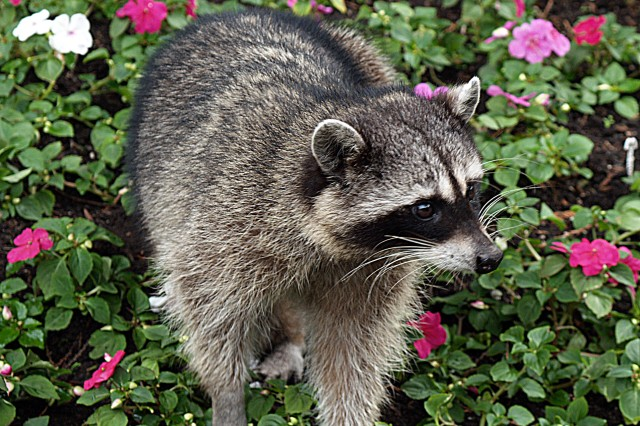 Raccoons may look cuddly and playful, but they are one of the many feral animals that may carry rabies. Steer clear of feral animals, even wild dogs and cats, because they may carry rabies.