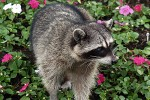 Feral raccoon