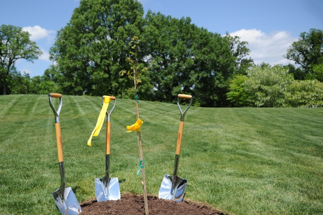 "At Arlington National Cemetery, Va., a newly planted post oak sapling is dwarfed by its towering elders in the background. In celebration of Arbor Day, five saplings and descendants of the 220-year old ""Grand Arlington Oak"" were donated to the cemetery by non-profit American Forests April 27, 2012. The ""mother"" tree was felled by Hurricane Irene last August."