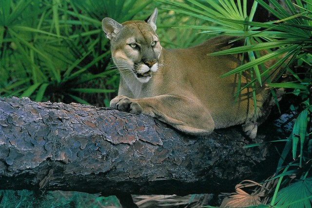"""The U.S. Army Corps of Engineers prepared all the necessary documents to facilitate the May 16, 2012, easement exchange that will allow for the creation of the proposed """"panther corridor,"""" which will enable panthers to disperse from habitats restricted to south Florida."""
