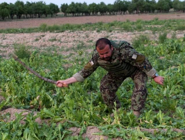 Opium Poppy Acreage Destroyed