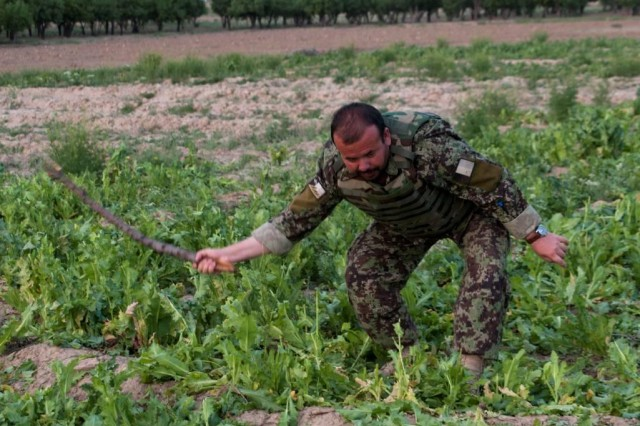 Capt. Sayed Baba Mansory, officer-in-charge of the 1/2-205 Afghan National Army Corps, Shamulzai Detachment, destroys opium poppy plants discovered during a routine patrol, outside the village of Samogay, Afghanistan, May 7, 2012.