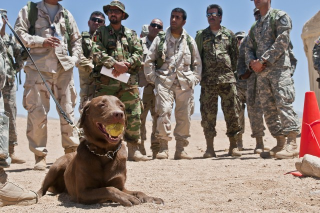 """Coba, a 3-year-old chocolate lab and tactical explosives detector dog, chews contently on a tennis ball as David Sheffer, her handler and a dog trainer with Vohne Liche Kennels in Denver, Ind., explains the capabilities of the dog June 14 at the National Training Center on Fort Irwin, Calif., during a demonstration of Coba's abilities for 4th Stryker Brigade, 2nd Infantry Division Soldiers, role players and government civilians. Sheffer spent 10 days """" from June 5 to 15 """" escorting Coba to various companies and platoons across the brigade, which will soon select 25 handlers for training to lead a similar dog in Afghanistan when they deploy later this fall."""