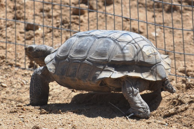 A desert tortoise walks in its enclosure at Fort Irwin's Department of Public Works wildlife viewing facility off of Third Street.