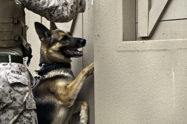 A working dog claws at a doorway suspect during a human detection scenario as part of the 2012 Hawaiian Islands Working Dog Competition, held at Pearl City High School, and at Schofield Barracks, Hawaii, June 18-22, 2012. Seventeen teams from across the globe participated in the competition.