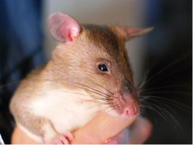 R.A.T.S. research may teach rodents to detect explosives for the Army