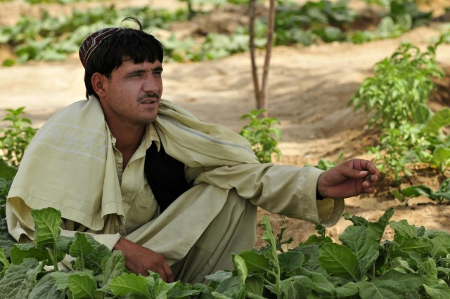 Dadullah, an Afghan farmer, holds a piece of a plant in a cucumber field near Haji Nikal, Afghanistan, July 22, 2012. Dadullah said the pest problem is a significant threat to crops this year. The U.S. Agency for International Development offers programs to properly educate local farmers on proper implementation of pesticides.
