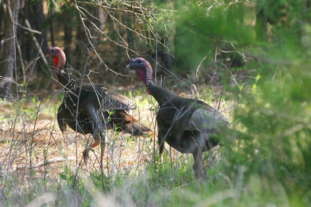 Turkey hunting is permitted in Georgia from March 23 - May 15, 2013; and in South Carolina from April 1 - May 1, 2013.