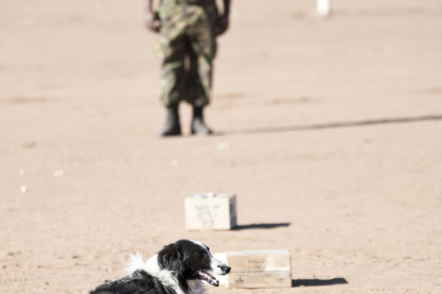 Botswana Defense Force military police working dog trainer Cpl. Moumakwa watches as his dog Lulu finds and unearths a sample of drug paraphernalia hidden amongst a line of boxes, during a training demonstration for U.S. forces Aug. 6 at Sir Seretse Khama Barracks. The demonstration used several substances including, drug paraphernalia, explosive material and ivory. (Photo by Army Sgt. Charlie Helmholt, 139th MPAD)