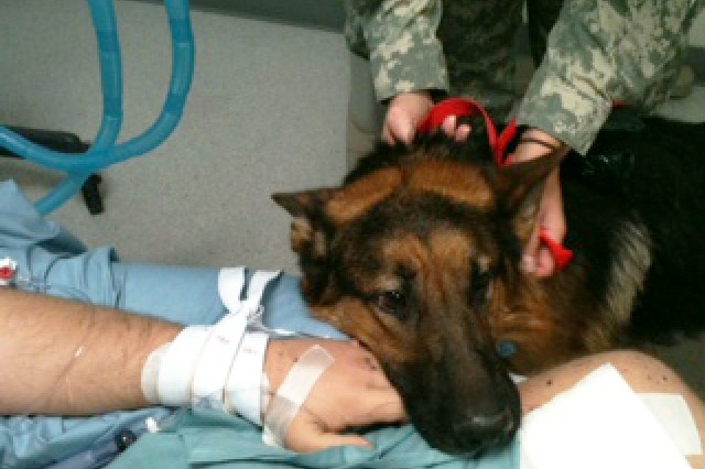 JaJo rests his head on the hand of his injured handler in the intensive care unit at Landstuhl Regional Medical Center in Germany. JaJo and his handler were injured by blast injuries sustained in Afghanistan.