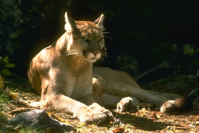 The North American Cougar, also known as a Mountain Lion or Puma, is considered to use more than half of California for habitat and primarily feed on deer.