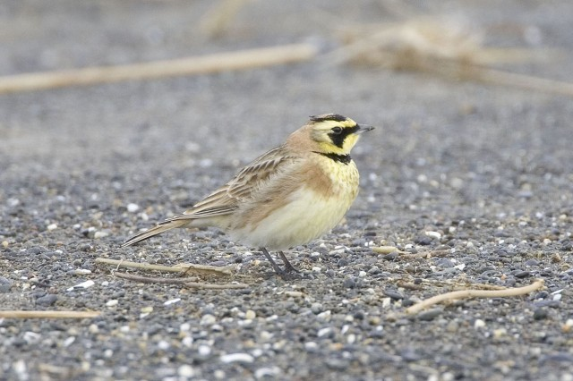 "JOINT BASE LEWIS-MCCHORD, Wash. "" The streaked horned lark uses the trees on Joint Base Lewis-McChord for its nesting site. It is close to being placed on the endangered species list. Wildlife management teams continue to work with the U.S. Fish and Wildlife Service and unit commanders to protect critical habitat on base. The teams realize that the Army must train its Soldiers; one way they have managed to work together is by communicating with range control where the bird's habitat is. Rather than shutting down large training areas the teams communicate to trainers what small areas of habitat should be avoided. (Photo courtesy of Roderick Gilbert)"