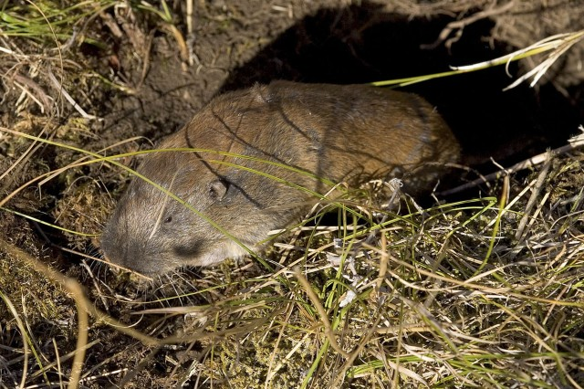 The Mazama pocket gopher is close to being listed on the endangered species list and a portion of its critical habitat is located on Joint Base Lewis-McChord. Because of shrinking habitat, the training areas on JBLM are one place where humans and wildlife can coexist. Wildlife management teams on JBLM ensure that the base is in compliance with the U.S. Fish and Wildlife Service's regulations. By monitoring the species protection and population growth the teams also ensure Soldiers' abilities to use the training areas now and in the future. (Photo courtesy of Roderick Gilbert)