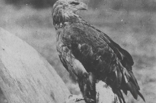 "The eagle on the shoulder sleeve insignia worn by Soldiers from the 101st Airborne Division (Air Assault) commemorates the most famous animal mascot that ever served in the U.S. Army -- ""Old Abe."""