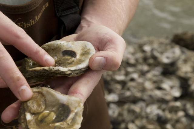 Oysters in the Gulf of Mexico
