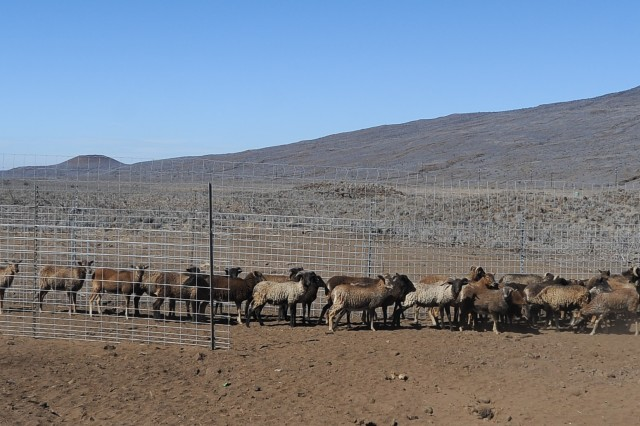 About 85 volunteers rounded-up these sheep during the Dec. 1 sheep round-up at U.S. Army Garrison Pohakuloa. The Hawaii Division of Forestry and Wildlife relocated the sheep to another location on Dec. 2.