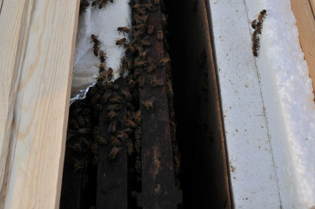 Bees working in their hive at Forward Operating Base Mescal, Afghanistan, Nov. 16, 2012.  The gauze seen in the upper portion of the photo contains food specially prepared for the bees by the Mississippi National Guard's Agricultural Development Team 4.