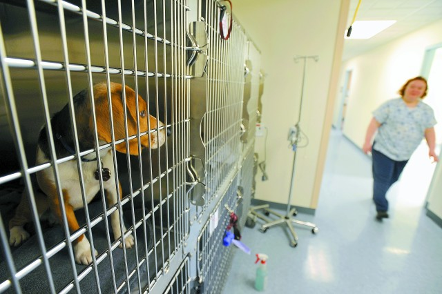 A beagle named Copper waits to have surgery in the new kennel and recovery room at the Veterinary Center at Joint Base Lewis-McChord, Wash.