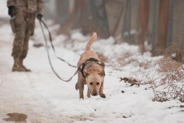 "Staff Sgt. Drake, a mine-detection dog, seeks out ""mines."""