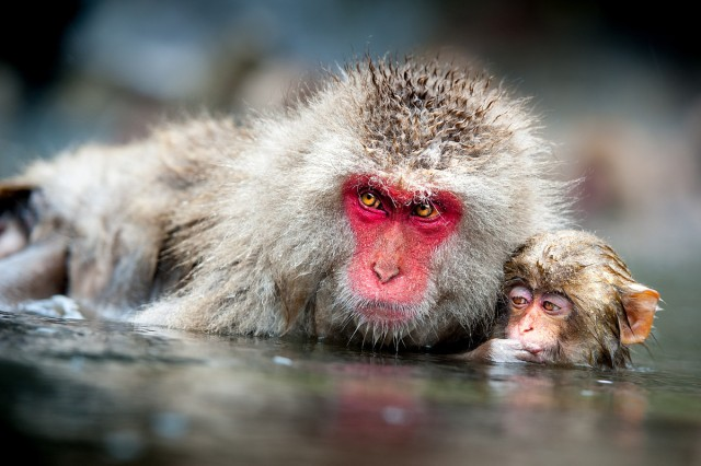 Capt. Robert Shaw of Camp Zama, Japan, takes third place in the animals category of the active-duty military division of the 2012 Army Digital Photography Contest with Sentinel, a photo of Japanese macaques taken during an Army Morale, Welfare and Recreation trip from Camp Zama to Jigokudani Monkey Park, near Nagano.