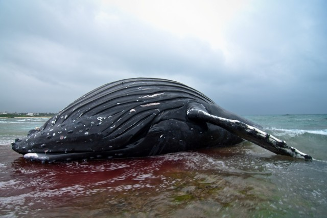The carcass of a juvenile humpback whale washed up on the shore of Torii Beach March 21. Researchers and marine biologists on Okinawa are running tests on tissue and bone samples to determine the cause of death.