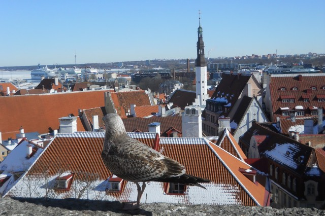 A seagull looks out over a view of Tallinn's Old Town. The medieval architecture of the Old Town will look familiar to those living in Bavaria. After occupying Estonia for the first time in the 13th century, the Germans went to work building up Tallinn.