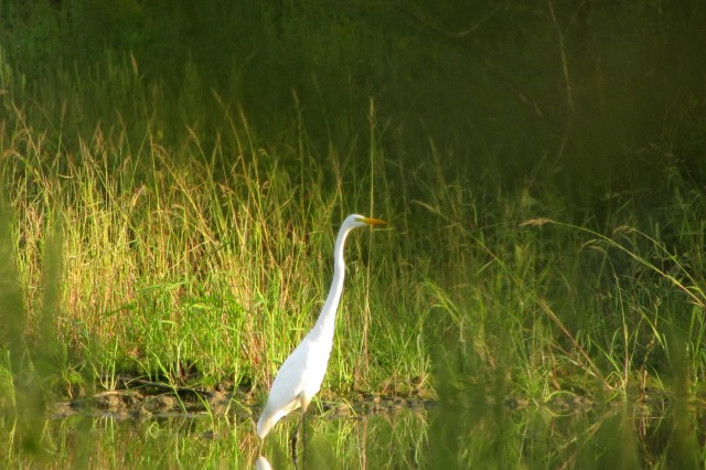 A Great White Egret at Wendell H. Ford Regional Training Center