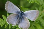 Fender's blue butterfly at rest