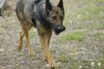 Fort Campbell Validates Working Dogs
