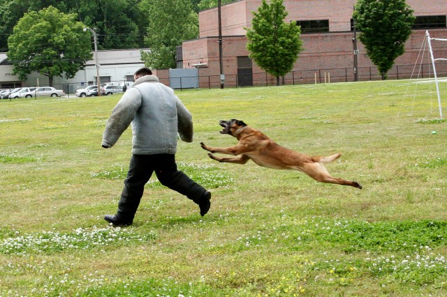 """A K-9 working dog attacks the """"bad guy"""" during a demonstration at the U.S. Army Space and Missile Defense Command/Army Forces Strategic Command-sponsored Survivor Outreach Services Spring Fling cookout May 11 at the Redstone Arsenal, Ala., activity field."""
