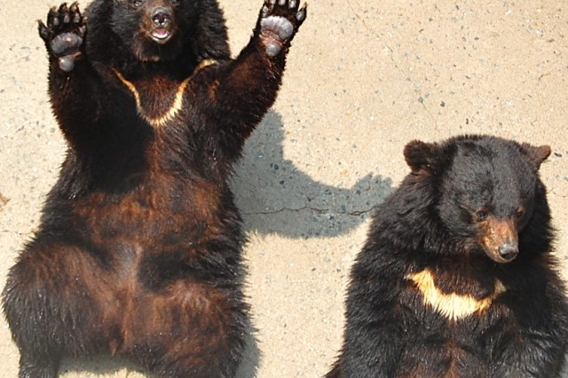 While visiting and feeding the Manchurian Black Bears is the featured attraction at Cheonan's Beartree Park, there are many more animals, birds and sites to see. The park features indoor and outdoor botanical gardens, various types of flowers, a fish pond and a deer feeding exhibit.