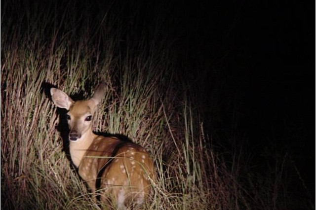 A white-tailed deer fawn stands out in a spotlight, but its marking help camouflage it from predators. Post residents should not pickup baby animals assuming parents abandoned them. Mom is likely nearby and ready to take charge.