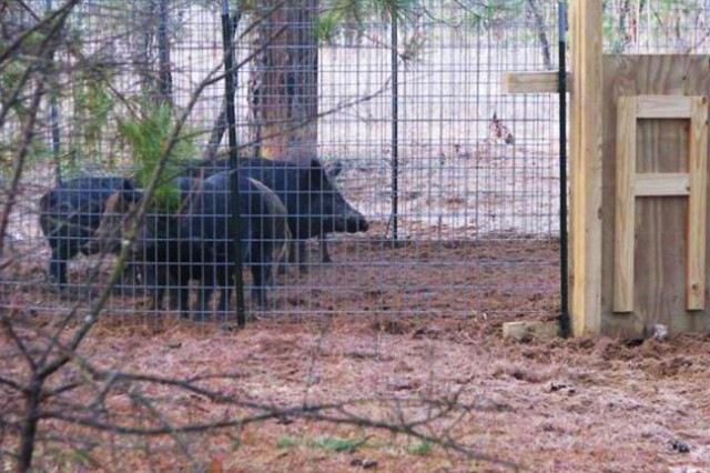 Wild pigs were caught in one of Fort Rucker's traps as a way to control the pig population on post. Cost-effective wild pig trapping is just one of the many things that participants will learn about during the Wildlife School for Landowners.