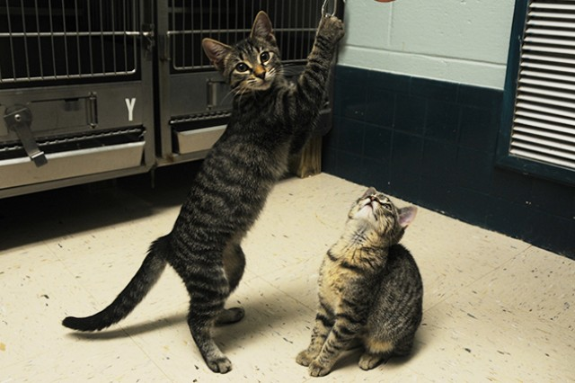 Lady and Jasmine, kittens currently up for adoption at the shelter, play with each other Aug. 15.