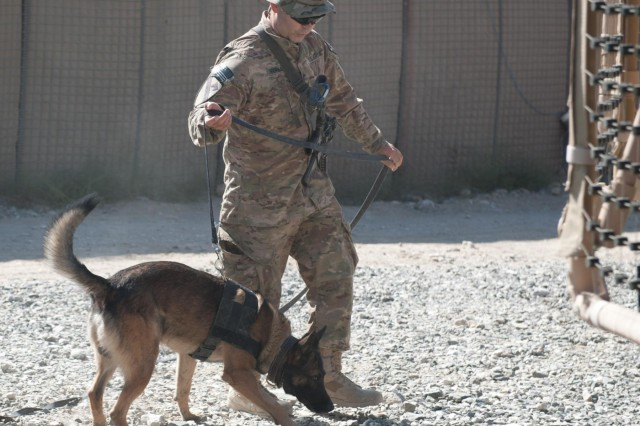 U.S. Army Sgt. Coma, a tactical explosive detector dog assigned to 2nd Battalion, 4th Infantry Regiment, 4th Brigade Combat Team, 10th Mountain Division, is urged through a practice course by his handler, Spc. Alex Serna, at Forward Operating Base Tagab, Kapisa province, Afghanistan, Sept. 6, 2013. Serna is from Fort Wayne, Ind., and is with Company A, 2nd Bn. Coma, a German shepherd, is trained to detect the scents various explosive components emit and alert his handler. (U.S. Army National Guard photo by Sgt. Margaret Taylor, 129th Mobile Public Affairs Detachment/RELEASED)